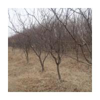 供4--6公分杏树 桃树 苹果树
