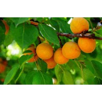 占地杏树8--9--10公分杏树