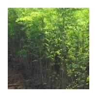 3--12公分刺槐树低价出售